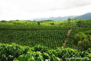 03_coffee_farm