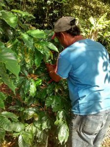 honduras kaffe picker