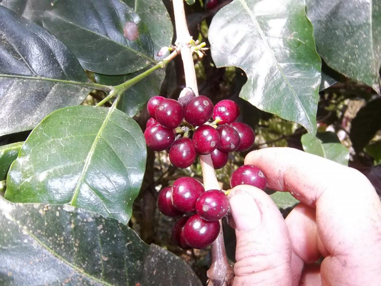 kaffe fra Ecuador